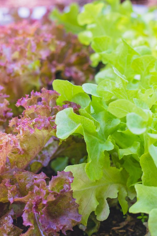 Red coral lettuce and green oak lettuce on  organic vegetables salad  food background royalty free stock images