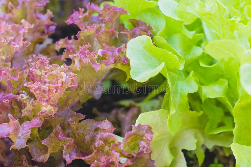 Red coral lettuce and green oak lettuce on  organic vegetables salad  food background royalty free stock photography