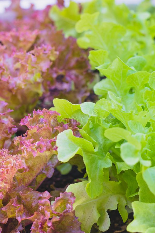 Red coral lettuce and green oak lettuce on  organic vegetables salad  food background stock photography
