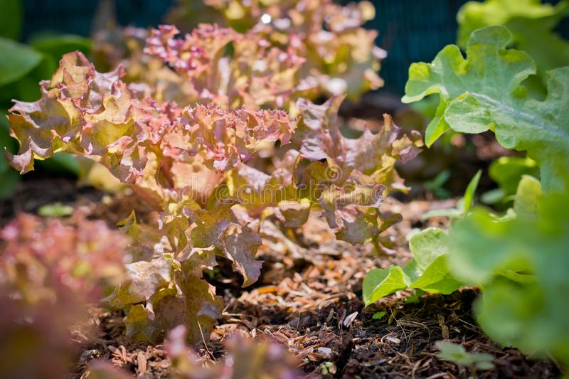 Red coral lettuce and green oak lettuce on  organic vegetables salad  food background stock photos