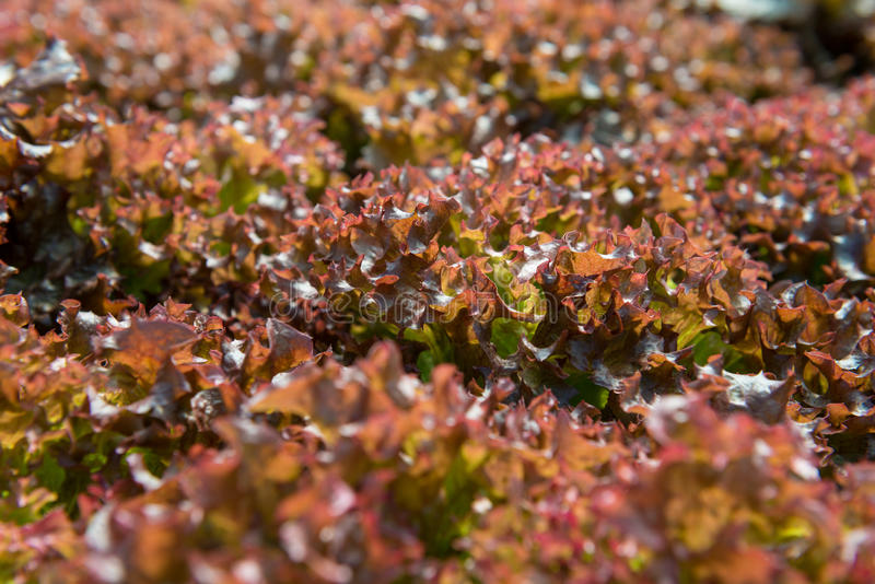 Red coral lettuce. On hydroponics farm stock image