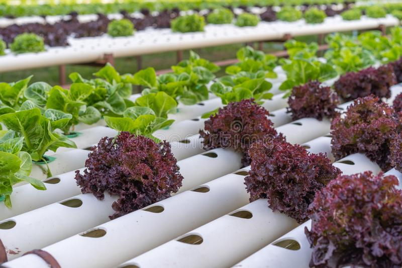 Red coral lettuce hydroponics vegetable. Farming stock image