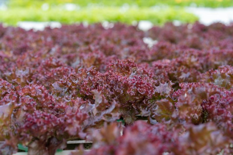 Red coral lettuce hydroponics vegetable. Farming royalty free stock images