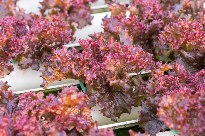 Red coral lettuce hydroponics vegetable. Farming stock photography
