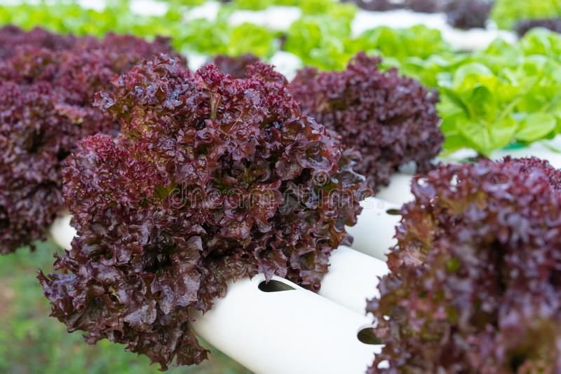 Red coral lettuce hydroponics vegetable. Farming stock photo