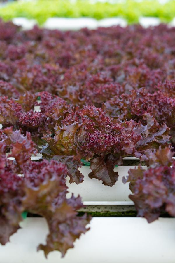 Red coral lettuce hydroponics vegetable. Farming royalty free stock image