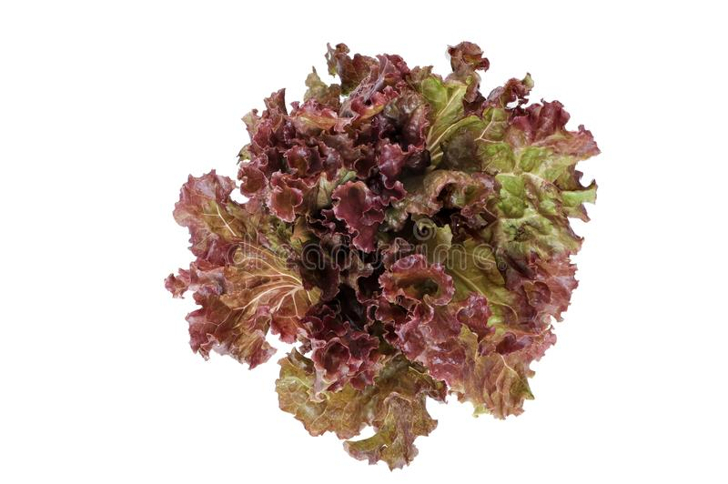 Red Coral Lettuce isolate on white background. A picture of a salad on a white background taken in the studio stock photos