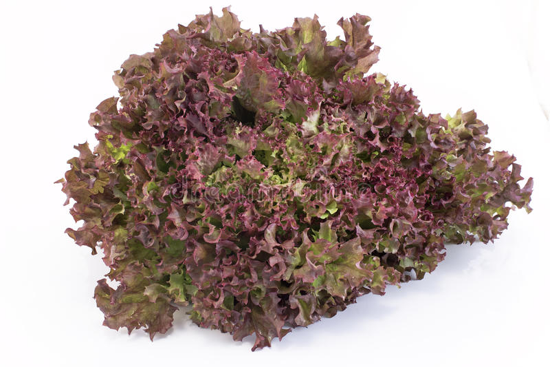 Red coral lettuce - Lola Rosa.  stock images