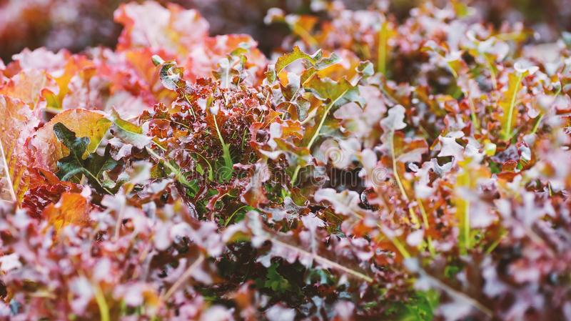 Red coral lettuce in organic vegetable garden. Red coral lettuce growing in organic vegetable garden royalty free stock photo