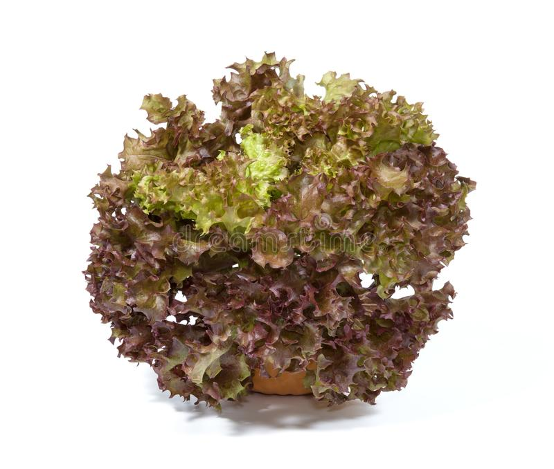 Red coral lettuce with pot on white background.  royalty free stock photography