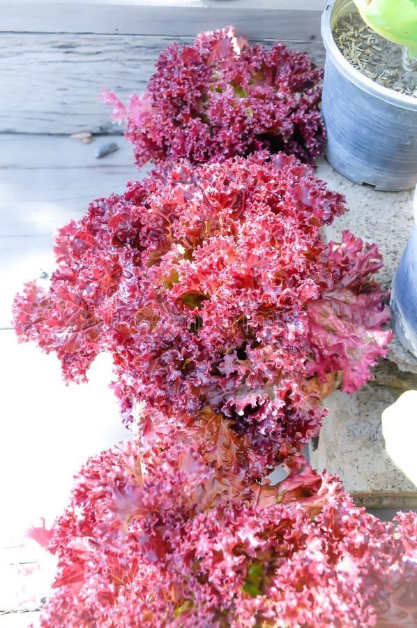 Red coral lettuce. In the flowerpot royalty free stock photo