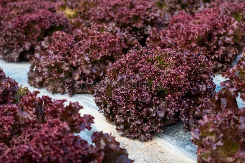 Red Coral Lettuce. In the garden royalty free stock images
