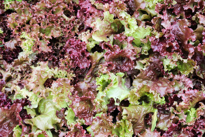 Red coral lettuce salad. For background royalty free stock photos