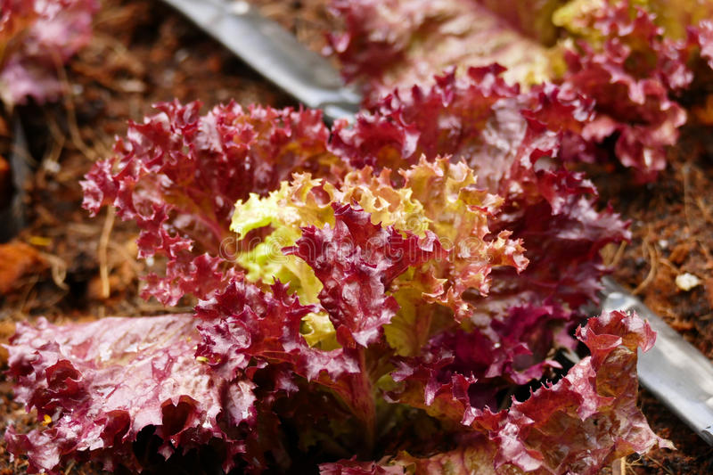 Red coral lettuce vegetable growing in agricultural farm. Red coral lettuce vegetable growing in agricultural organic farm stock image