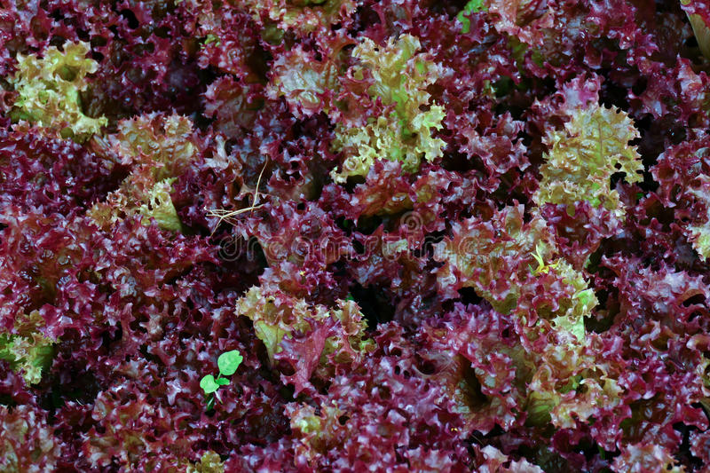 Red coral lettuce vegetable growing in agricultural farm. Red coral lettuce vegetable growing in agricultural organic farm stock photo