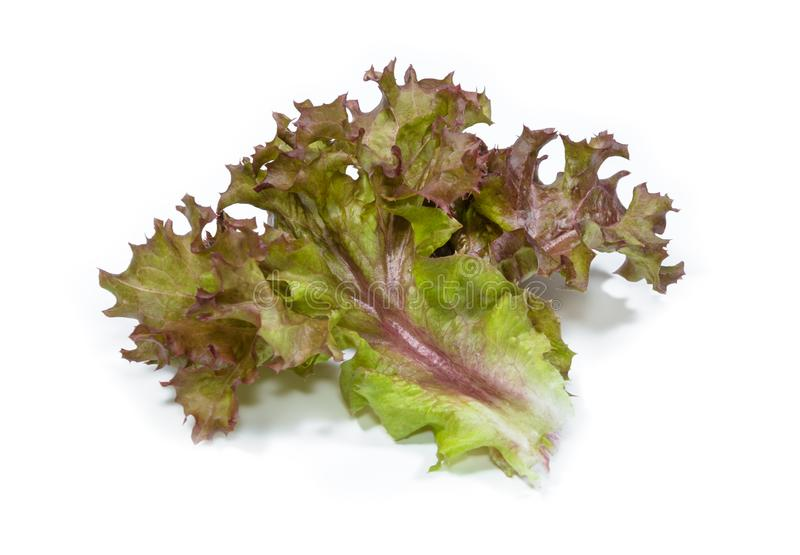 Red coral lettuce on white background.  stock image