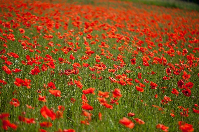 Red Corn Poppy Flowers royalty free stock photo