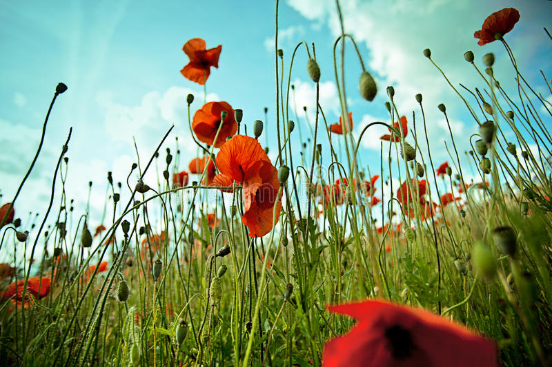 Red Corn Poppy Flowers royalty free stock image