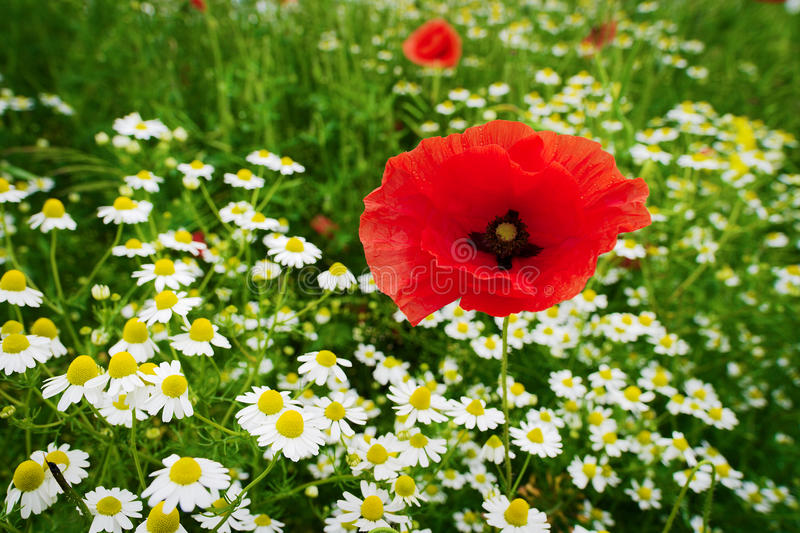 Red corn poppy papaver and chamomile flowers growing on colorful meadow in countryside. Spring field in blossom. Selective focus. Stegna, Pomerania, Poland royalty free stock photos