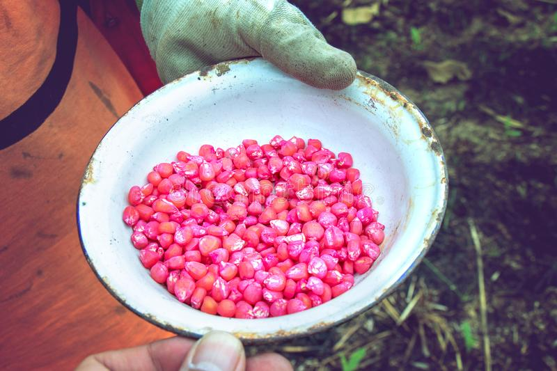 Red corn seed in the farmer`s bowl for planting, GMO concept royalty free stock images