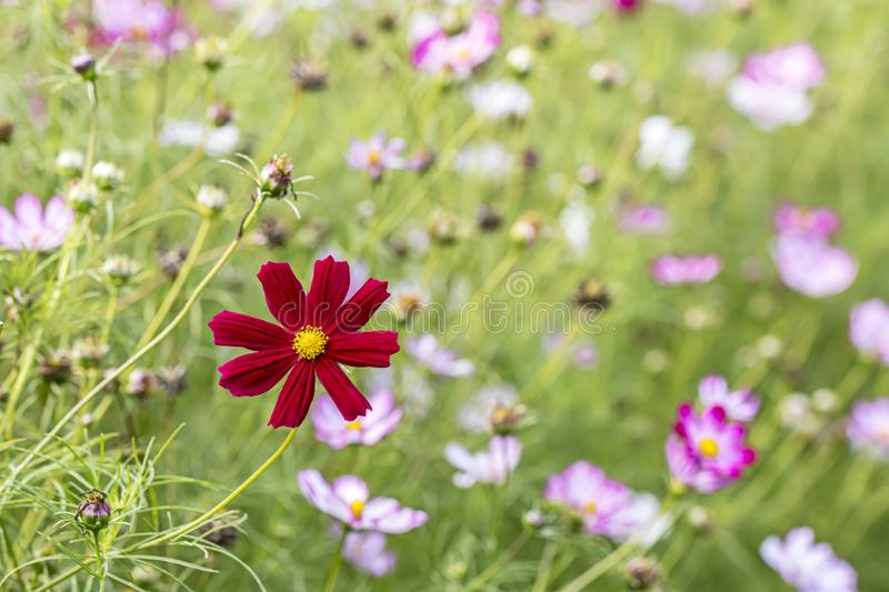 Red cosmos aster flower blooming in spring field. blurred background royalty free stock images