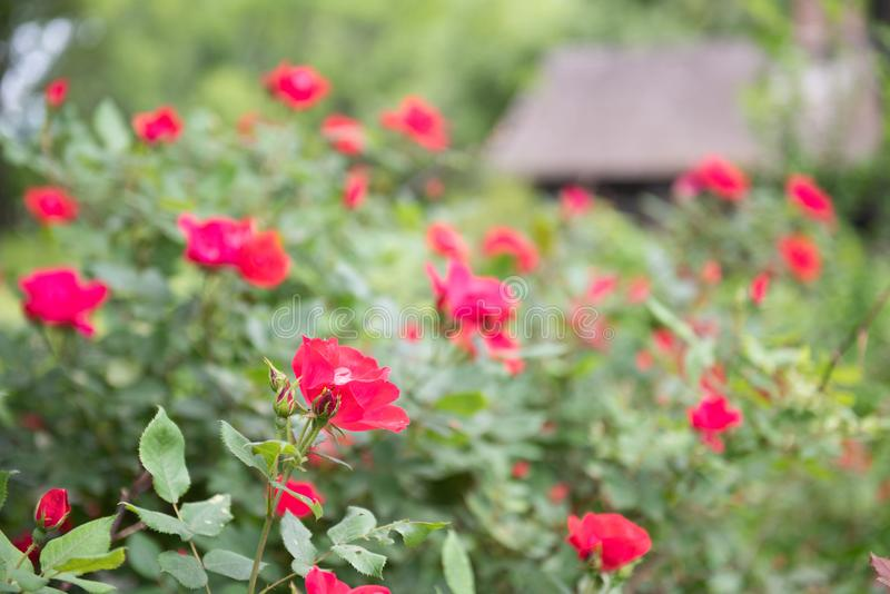 Red Country Roses and Barn Background. Red roses in perennial border of country cottage in Hudson Valley New York stock image