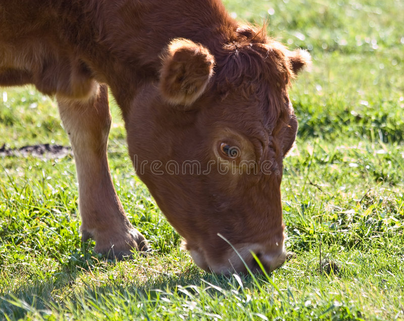 Download Red Cow stock photo. Image of pasture, eating, head, over - 7198820
