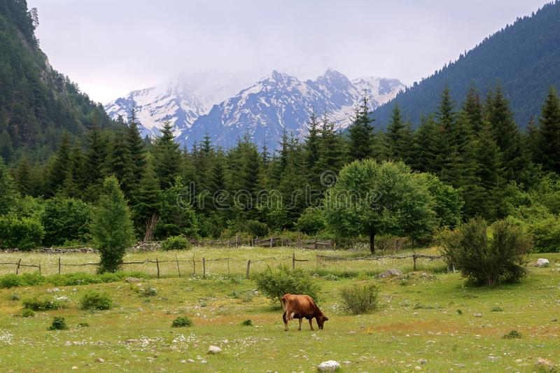 A red cow grazing in a meadow in a mountain, Svaneti, Georgia. A red cow grazing in a meadow in a mountain valley in Svaneti, Georgia royalty free stock images