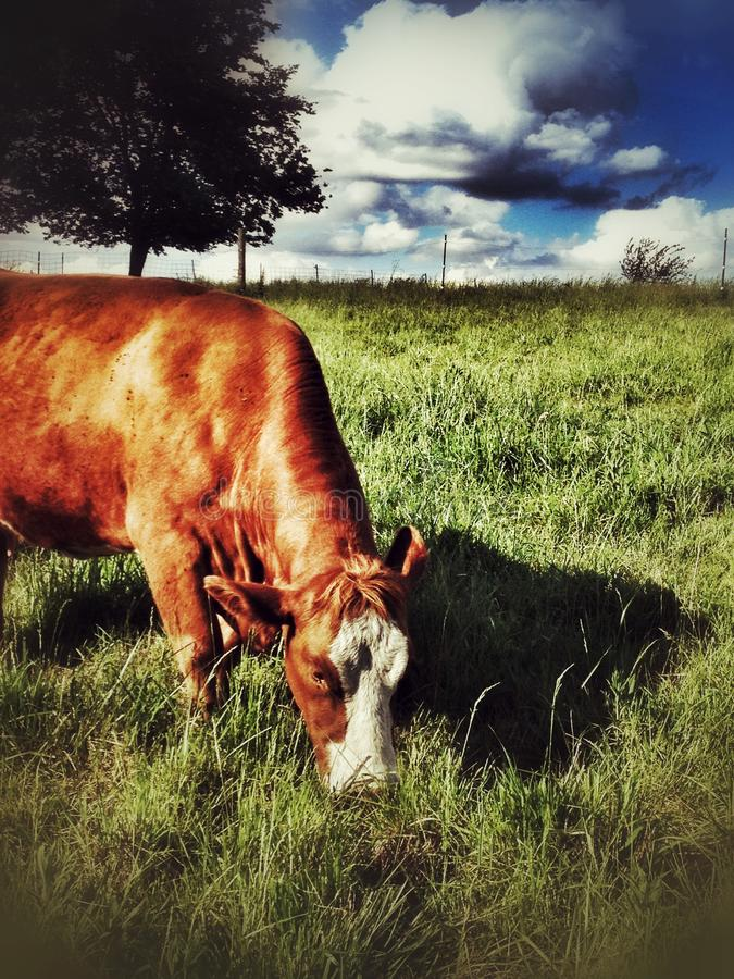 Red Cow Munching Grass stock photo