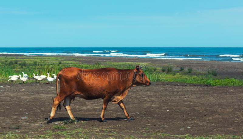 Red cow by the sea royalty free stock photos