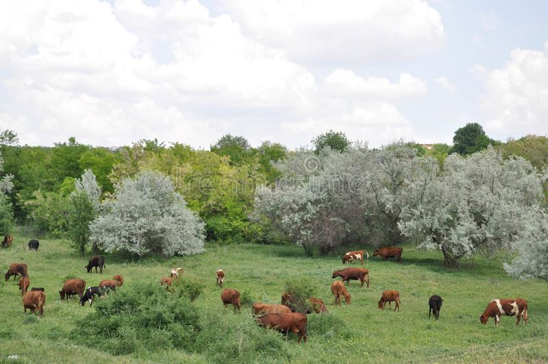 Red cows pasture in summertime. Rural landscape with cows grazing. Picturesque countryside in Ukraine. Country living scene. Beautiful farming scenery stock photo