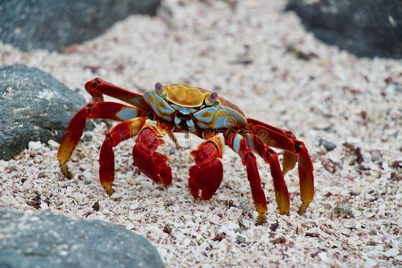 Red crab on Galapagos. Very colourful crab on one of the Galapagos Islands during a cruis royalty free stock photos