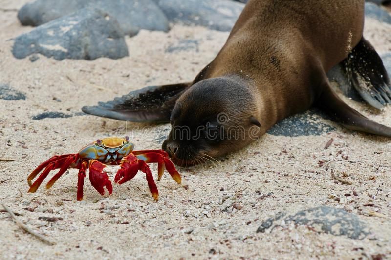 Red crab meets sealion baby on Galapagos. Colourful red crab close meeting with a sealion on one of the Galapagos Islands during a cruise stock image