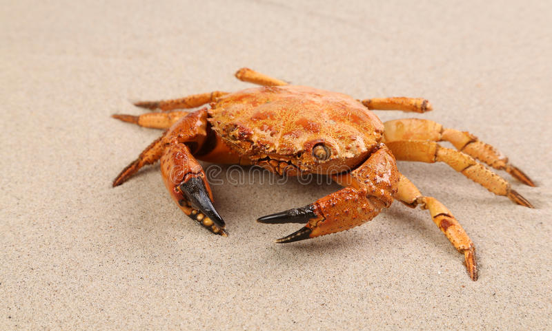 Red crab on sand royalty free stock photography