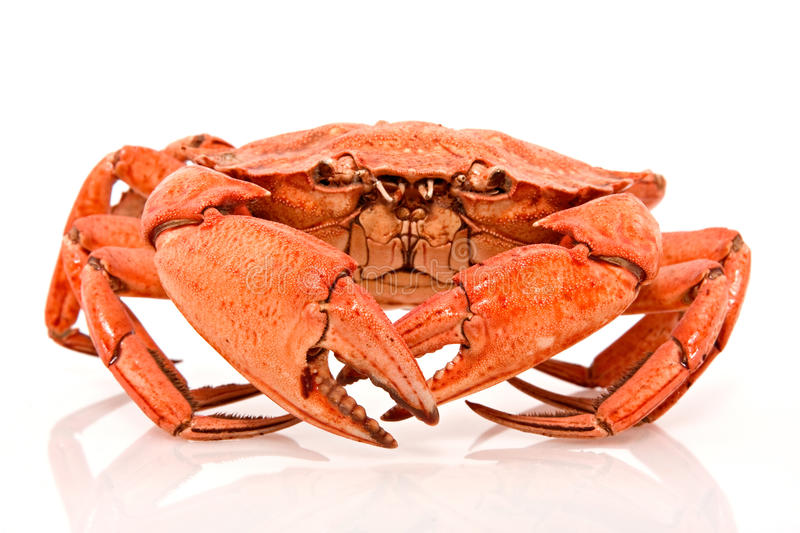 Red crab on white background stock photography