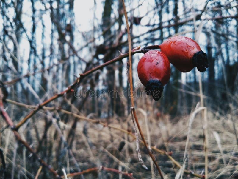 red cranberries stock photos