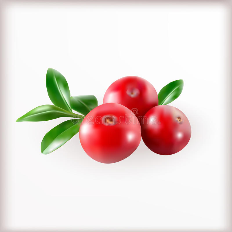 Red cranberries with leaves vector illustration