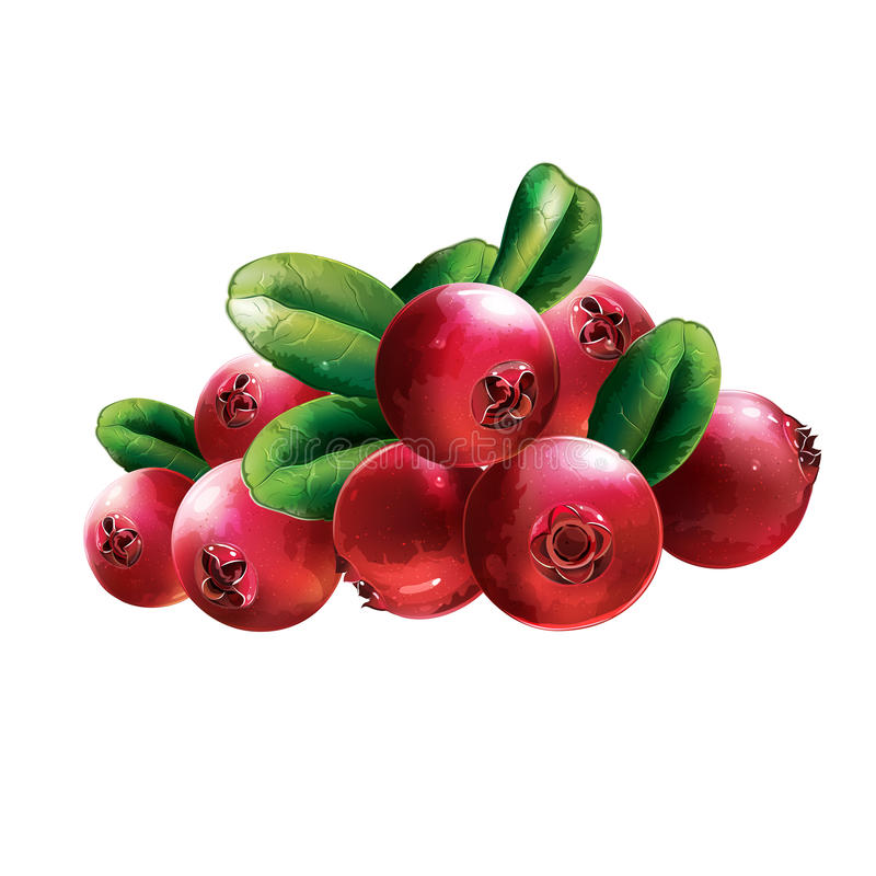 Red Cranberries With Leaves stock illustration