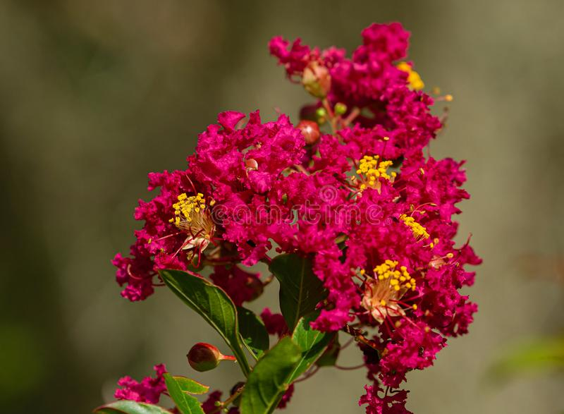 Red Crepe Myrtle Flower at Lake Seminole Park, Florida royalty free stock photography