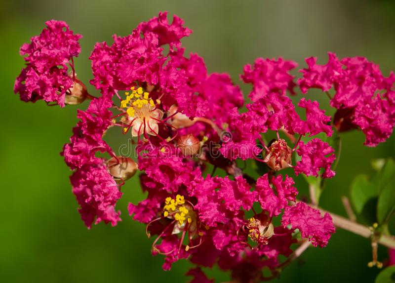 Red Crepe Myrtle Flower at Lake Seminole Park, Florida #2. Natural beauty stock images