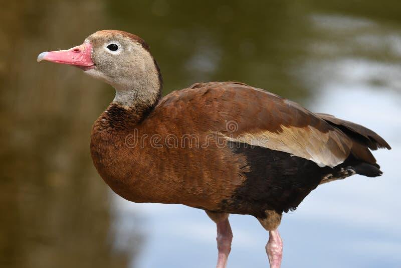 Red-crested潜鸭, 免版税库存图片