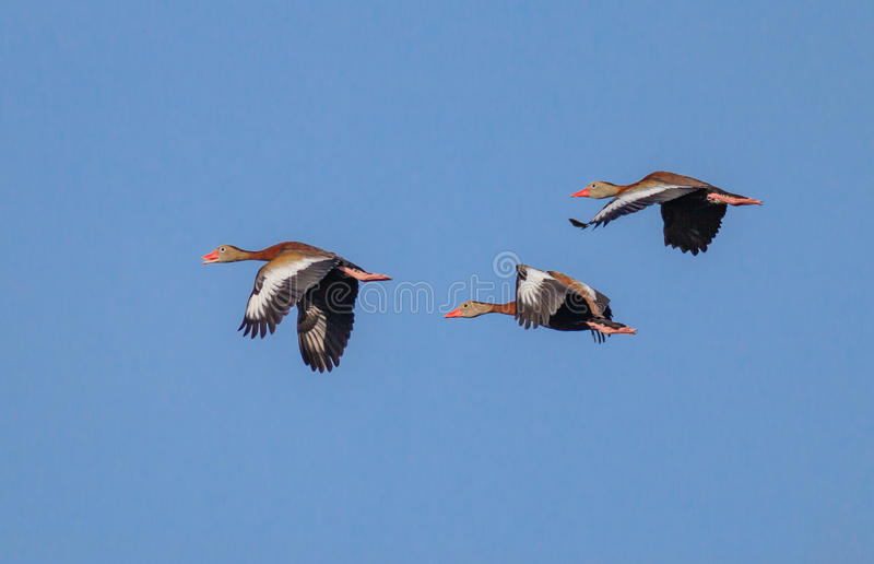 Red crested pochard ducks in flight royalty free stock photography