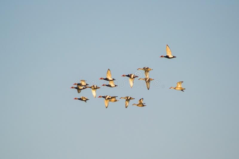 Red-crested Pochard Ducks stock photos