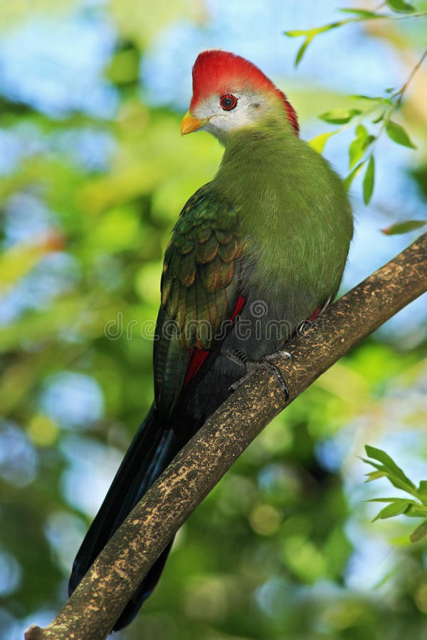 Free Red-Crested Turaco, Tauraco Erythrolophus, Rare Coloured Green Bird With Red Head, In The Nature Habitat, Sitting On The Branch, A Stock Photo - 67982210