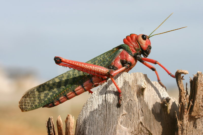 Red Cricket. A giant red grasshopper or cricket stock photography