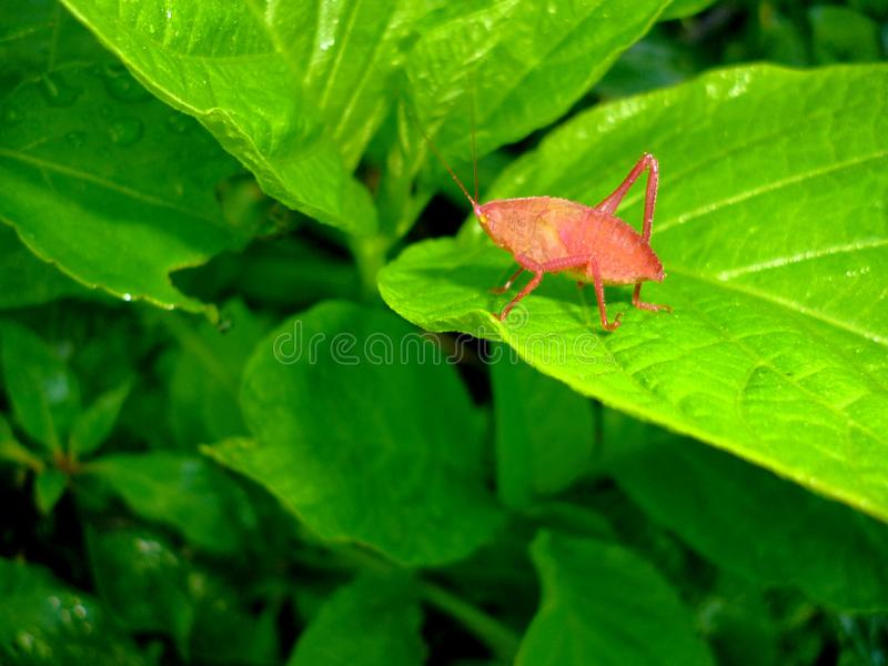 Red cricket under a lady's leaf gives night stock photo