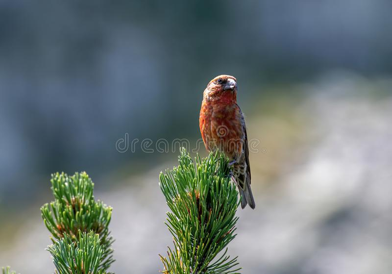 Red crossbill Loxia curvirostra a small passerine bird on a fir tree stock photography