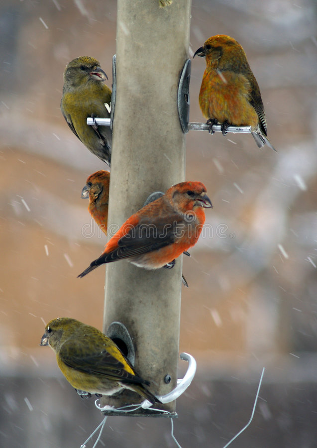 Free Red Crossbill On Feeder Royalty Free Stock Images - 8415599