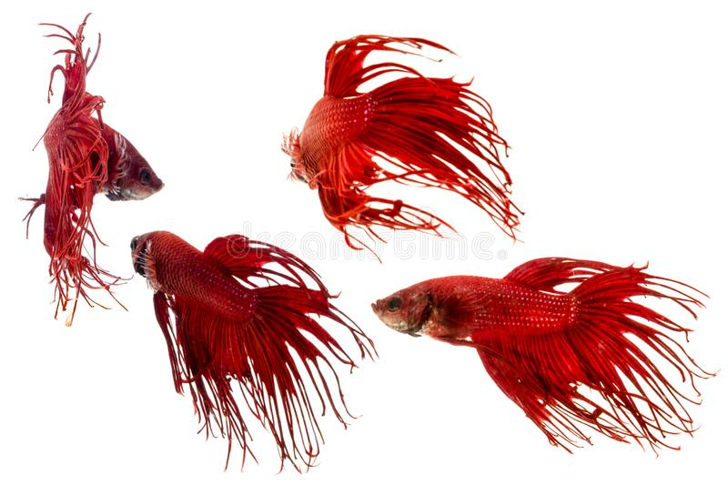 Red Crown tail betta fish stock images