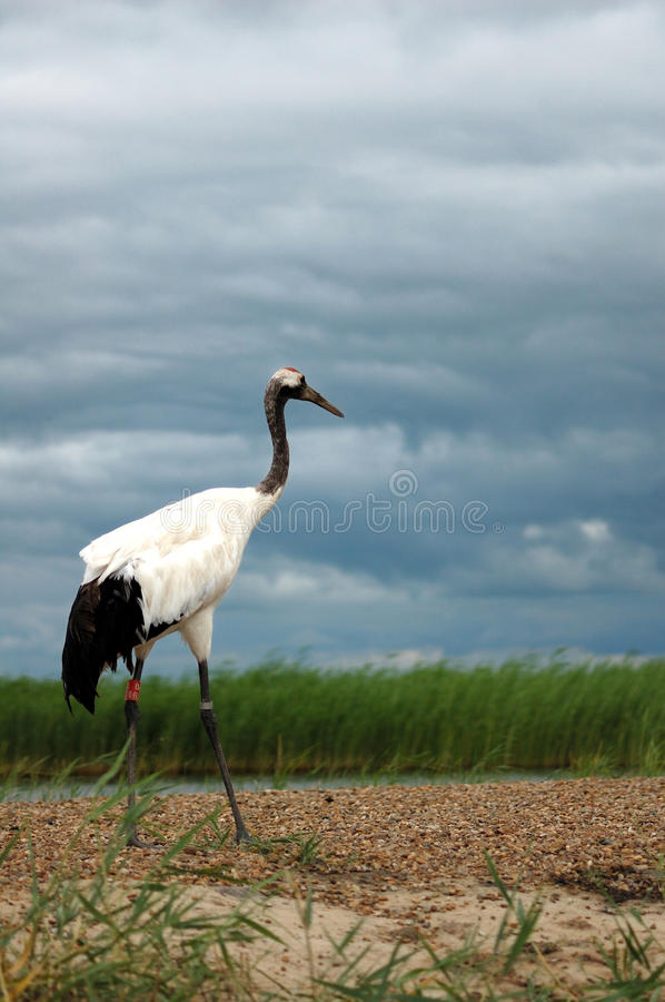 Free Red-crowned Crane Royalty Free Stock Image - 15088136